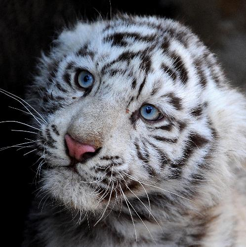 White tiger cubs greet the Year of the Tiger