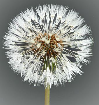 The Dandelion Project Nederland